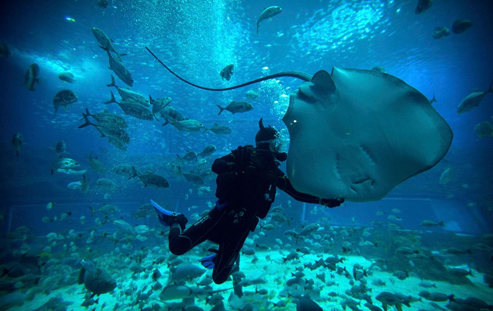 A diver swims with a ray at an indoor ocean park aquarium at the Wanda Cultural Tourism City in Nanchang in southeastern China's Jiangxi province.
