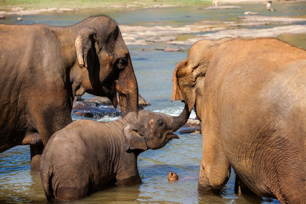 Elephants of Pinnawala elephant orphanage bathing in river (Pic courtesy: Thinkstock Photos)