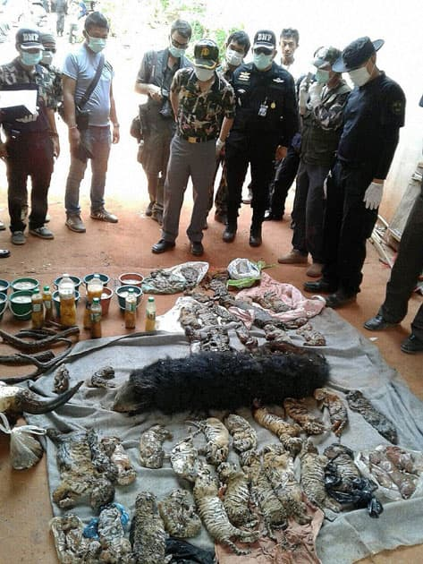 In this photo released by the Department of National Parks, Wildlife and Plant Conservation, officials look at the remains of tiger cubs and a bear laid out at the Tiger Temple in Saiyok district in Kanchanaburi province, west of Bangkok, Thailand.