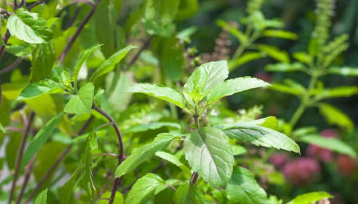 It is a medicinal herb and is good for health as it helps with flatulence, lack of appetite, cuts, and scrapes. This medicinal plant stimulate the production of immune cells, thereby lowering your risk of infections