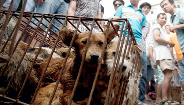 People in China's Yulin all set to gorge on dog meat - Know why