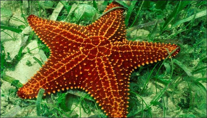 Human sex hormone has its evolutionary evidence in Starfish!