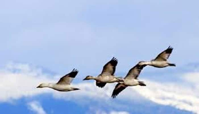 Migratory birds' stress cause faster ageing, premature death