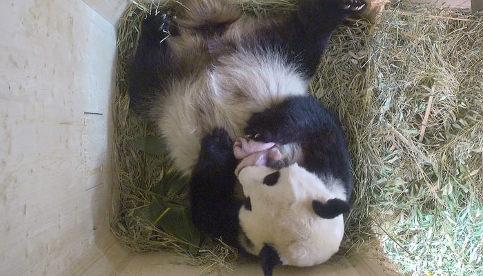 Not one, but two! Giant panda wows Vienna zoo with twins (Watch)