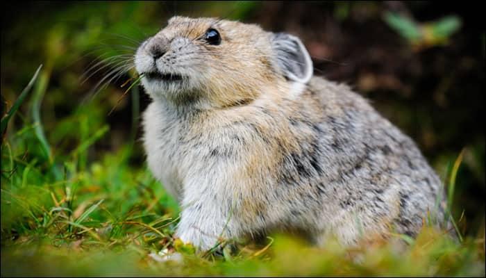 Climate change victimizes American Pika species; study reveals future extinction!