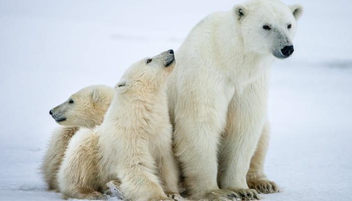 Polar bears losing life-sustaining sea ice: Study