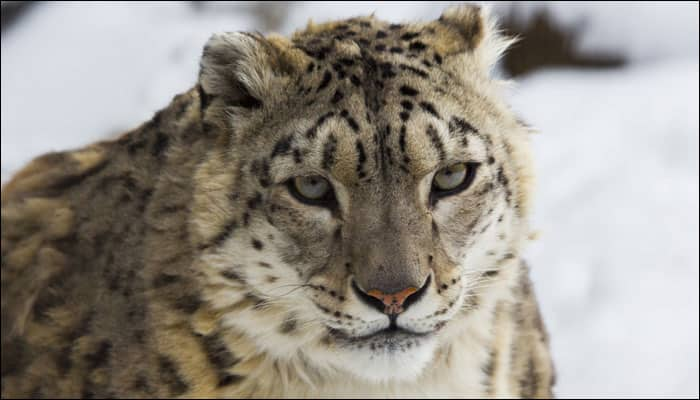Lives of snow leopards in danger; hundreds being killed every year, warns report!