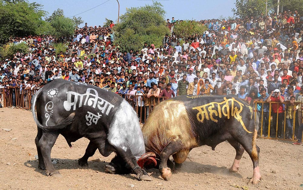 Buffalo fight in Ujjain