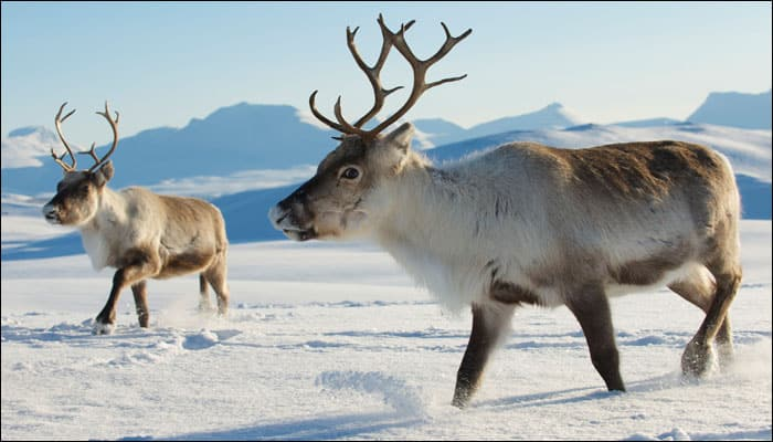 Thinning Arctic ice claims lives of 80,000 reindeer as global warming cuts off food supply
