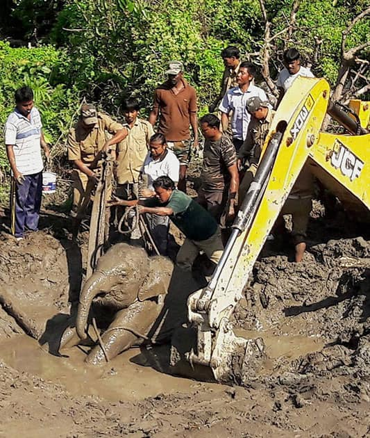 Forest workers with the help of a JCB machine trying to rescue a two year old child elephant inside Buxa Tiger Reserve under Alipurduar
