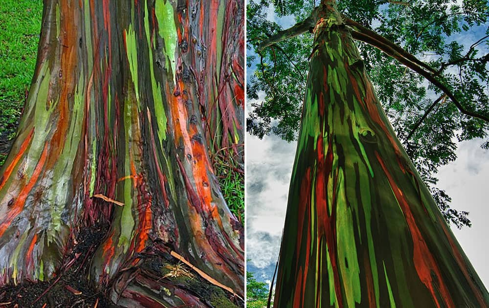 Rainbow Eucalyptus Trees in Kailua, Hawaii