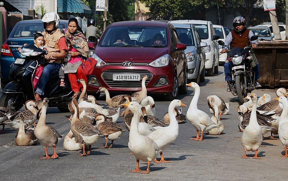 Ducks at a street