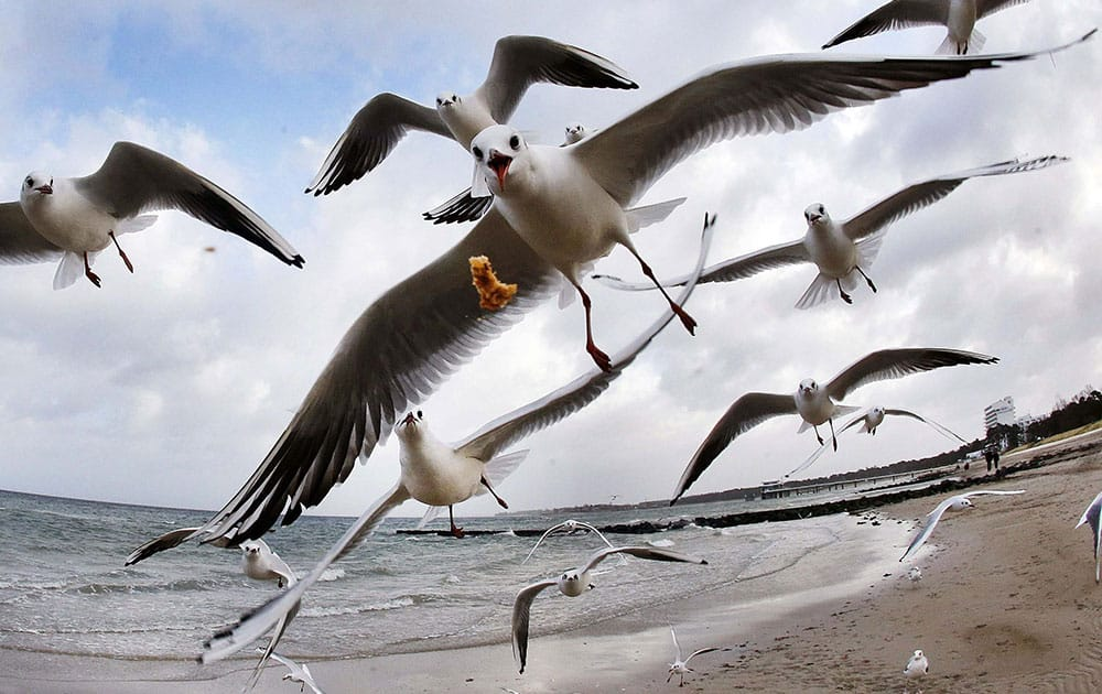 Sea gulls fly at the beach of the Baltic Sea