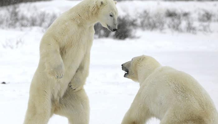 Arctic area pollutants threatening polar bear: Study