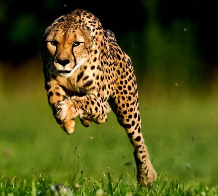 Cheetah - Speed : 75 MPH / 120 KMP