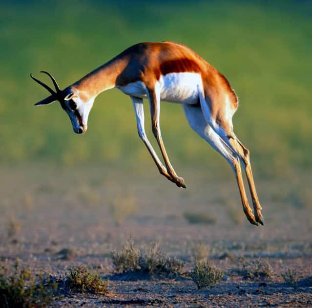 Springbok - Speed : 55 MPH / 88 KMP