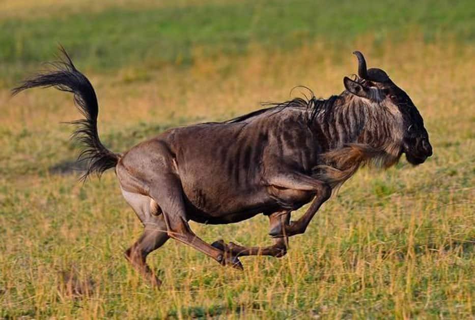 Wildebeest - Speed : 50 MPH / 80 KMP