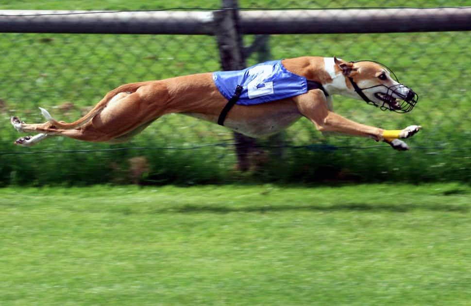 Greyhound - Speed : 44 MPH / 70 KMP