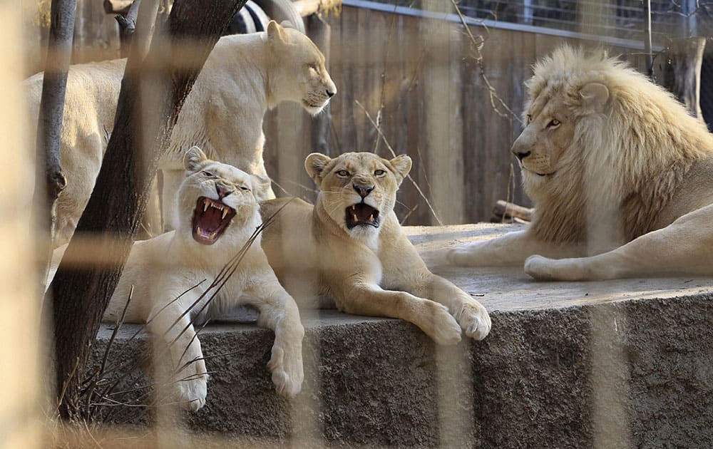 A lion family rests at the Tbilisi Zoo