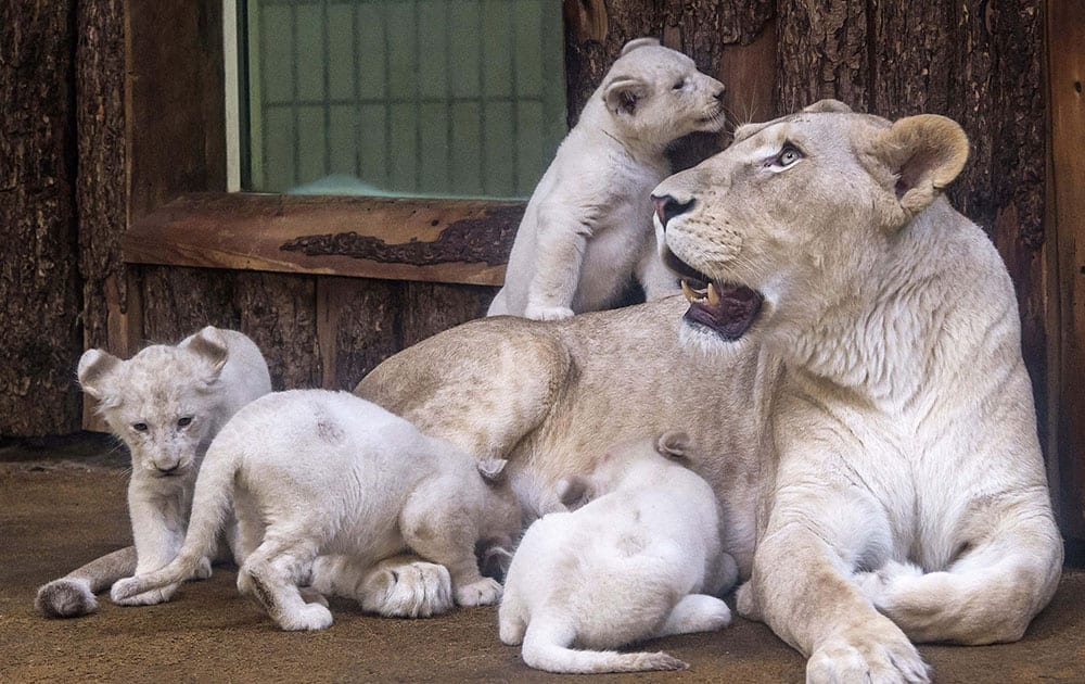 Four rare white lion cubs sit besides their mother Kiara at the zoo in Magdeburg