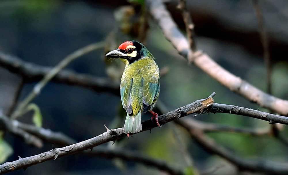 Coppersmith Barbet bird