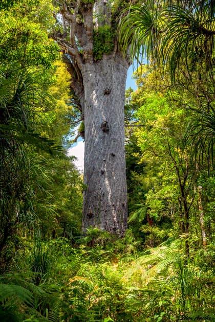 Tane Mahuta – Waipoua Forest, New Zealand