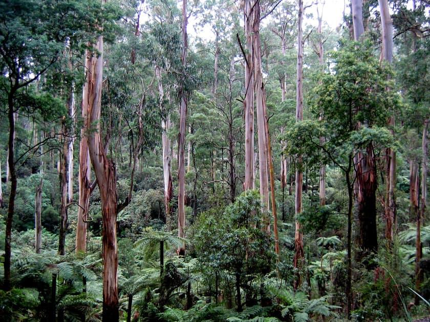 Eucalyptus Regnans – Australia