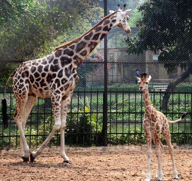 Giraffe Lakshmi with her new born baby