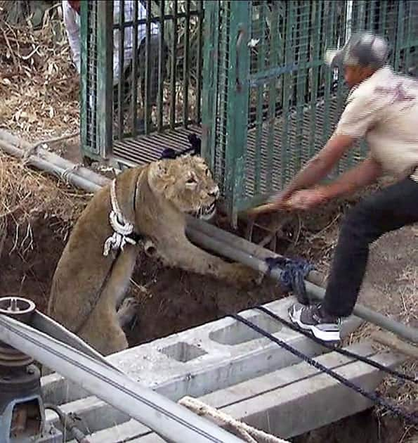 Asiatic lion cub falls in well