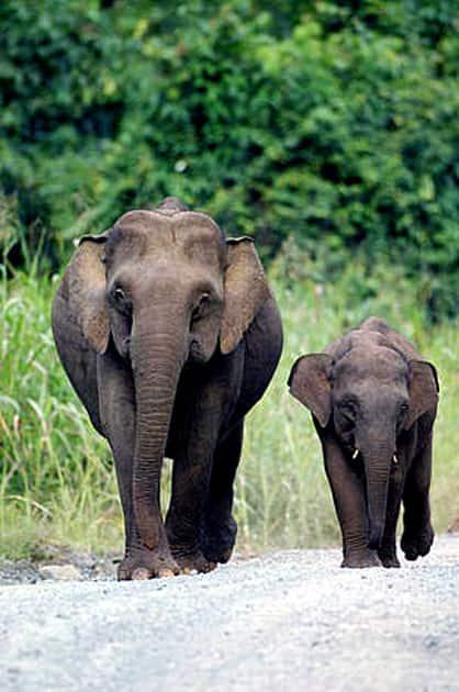 Javan elephant