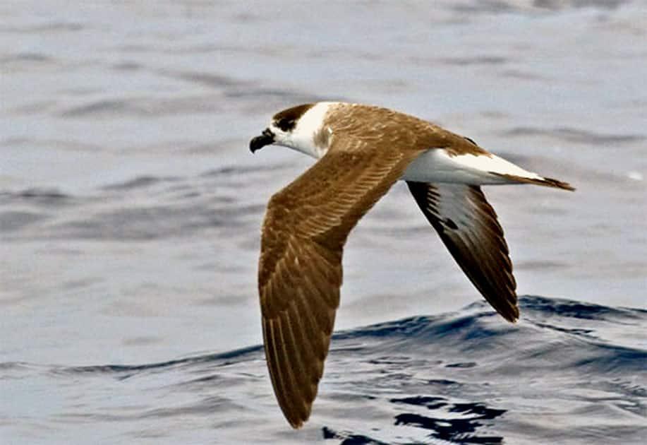 Bermuda petrel