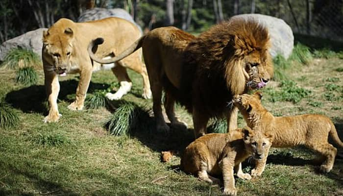 A world's first – These lion cubs were born after their father had reversed vasectomy