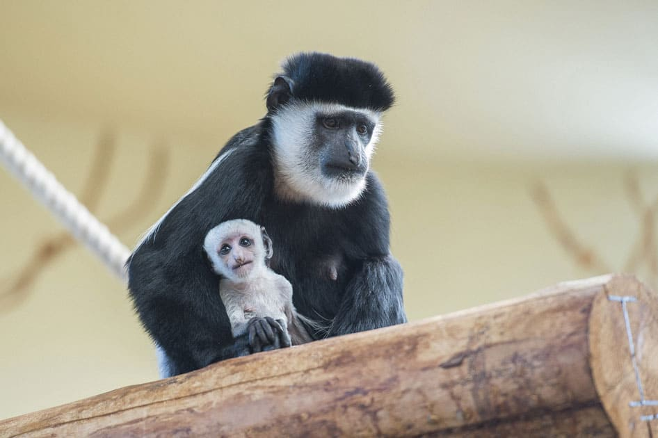 A mantled guereza carries her one-week old cub