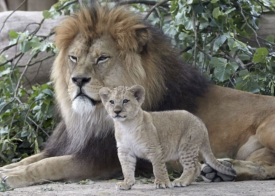 A Barbary lion cub, stands next to its father Schroeder