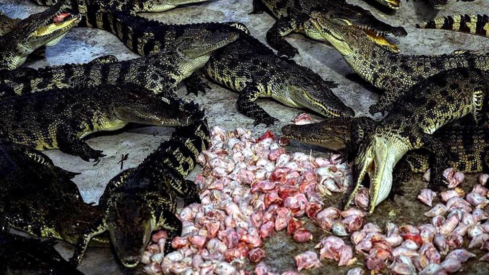 Crocodiles eat chicken heads at Sriracha Tiger Zoo