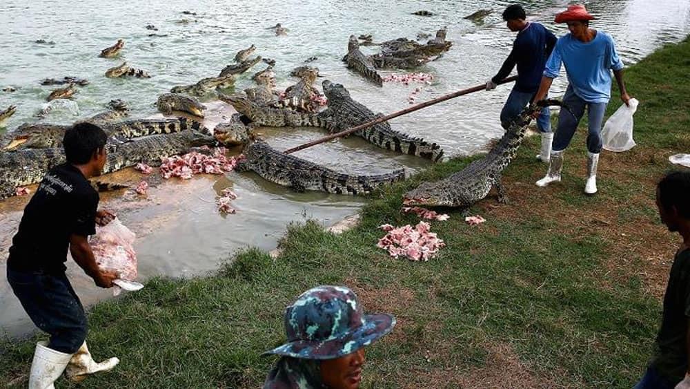 Workers feed crocodiles at Sri Ayutthaya crocodile farm in Ayutthaya province