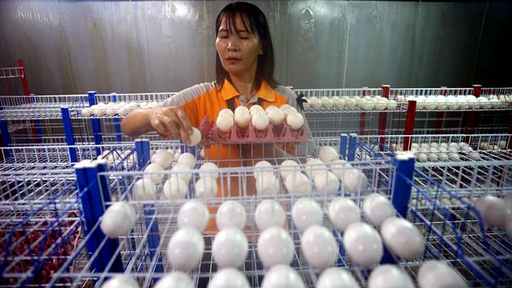 A zoo worker places crocodile eggs inside a hatchery at Sriracha Tiger Zoo