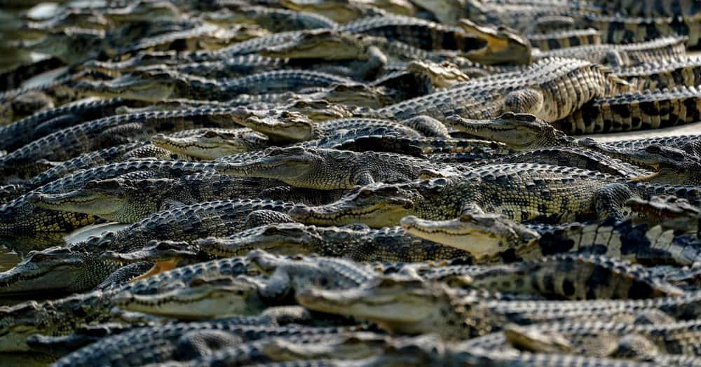 Crocodiles are seen at Sri Ayuthaya Crocodile Farm
