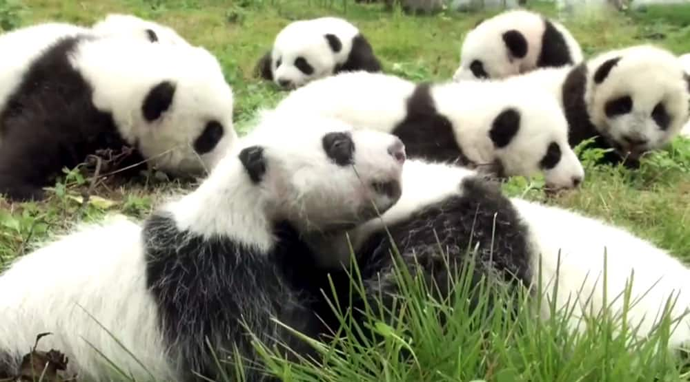 The China Giant Panda Protection and Research Center bred 42 panda cubs in 2017 out of which 36 made their public appearance.