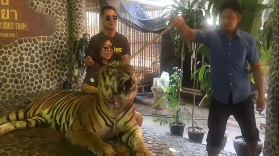 Watch: Video of tiger being poked in the face by Thai zoo staff goes viral, sparks outrage
