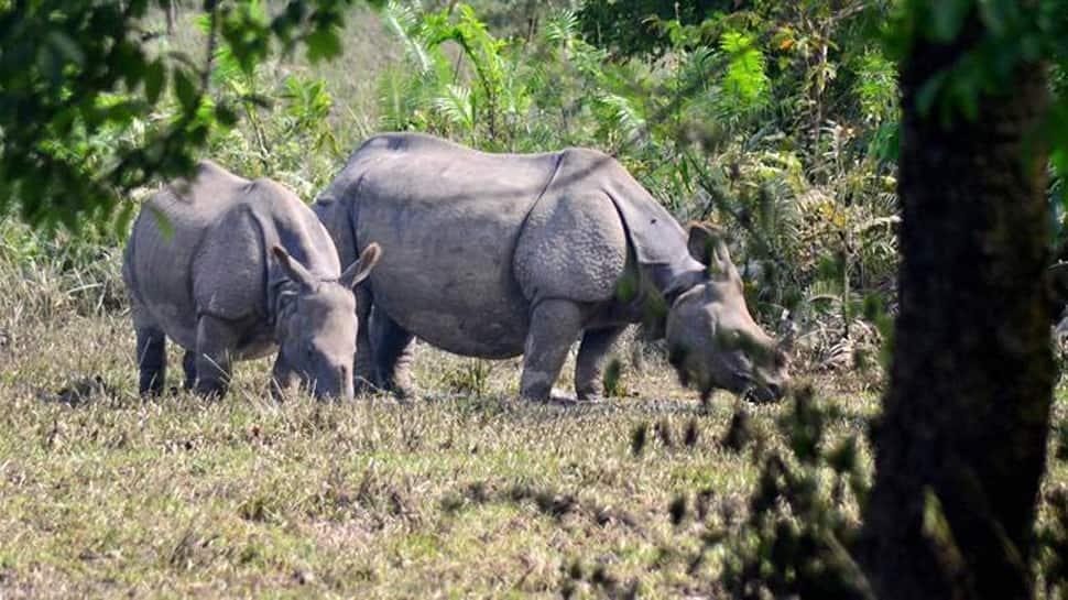 Assam: Manas National Park to get three rhinos, displaced from Kaziranga