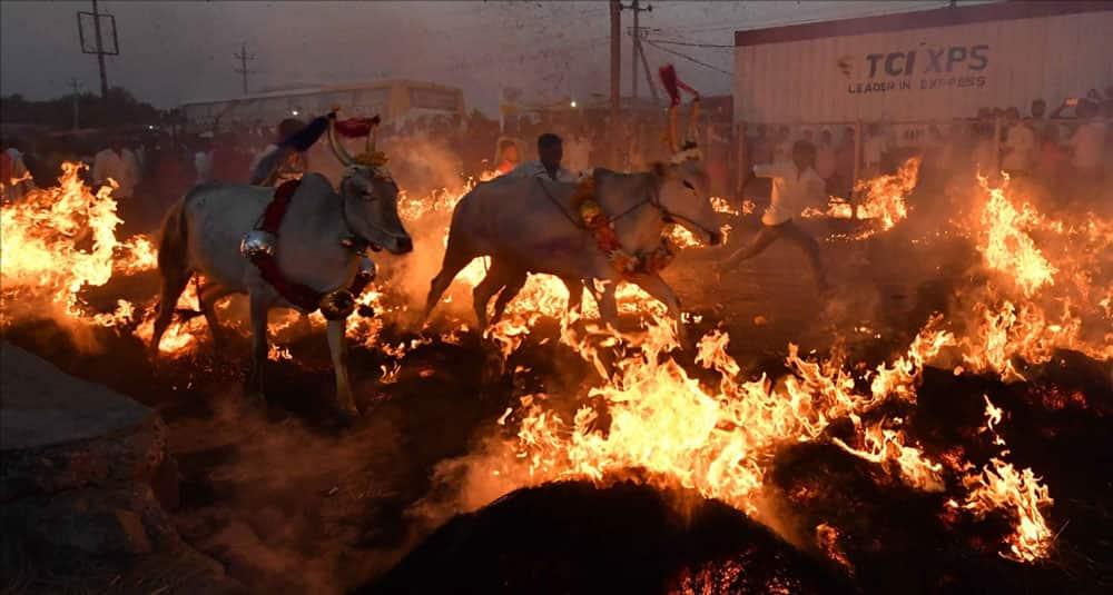 Cattle run over fire during Makar Sankranti celebrations in Bengaluru.