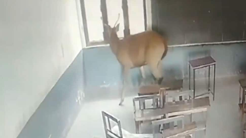 WATCH: This antelope takes a stroll inside classroom in UP's Moradabad