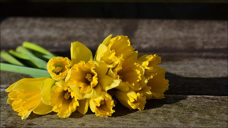 Daffodil extract may help combat cancer, reveals study