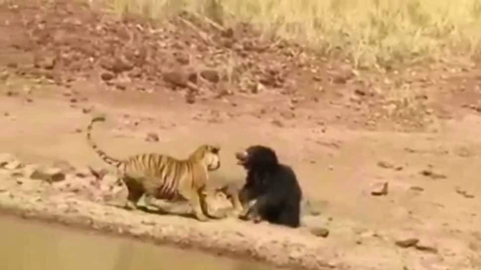 Viral video: Fierce fight between tiger and sloth bear in Maharashtra's Tadoba National Park