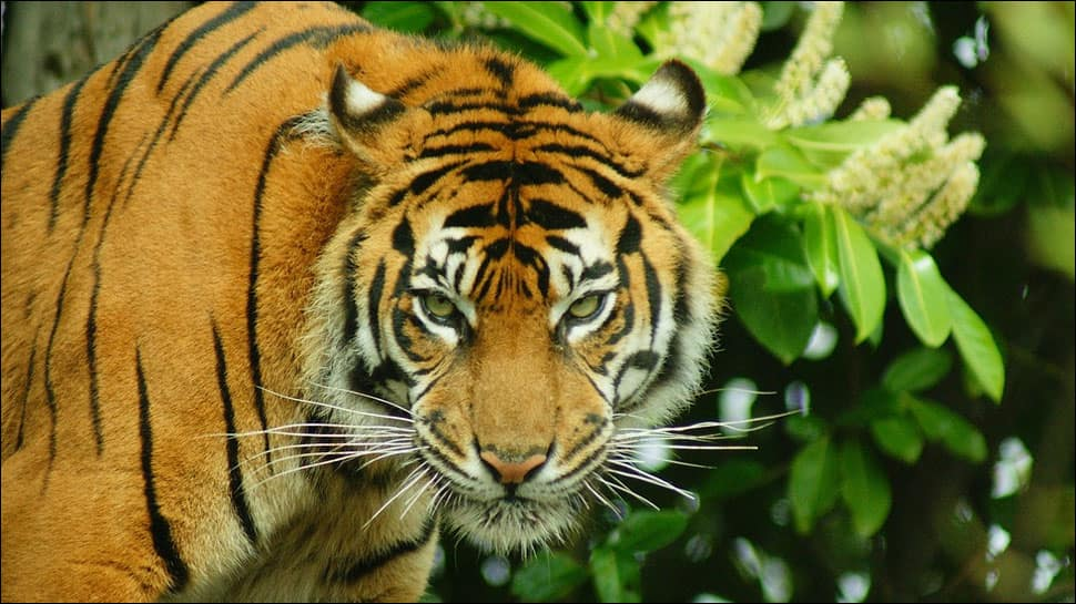 Endangered Sumatran tiger disemboweled, hung for attacking Indonesian locals