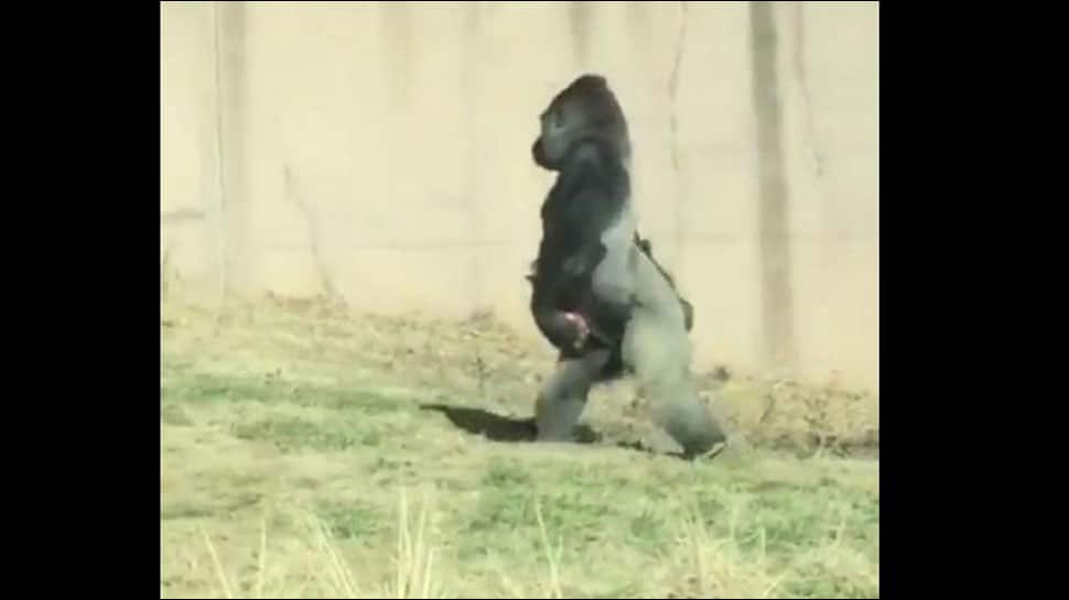 Clean-freak gorilla walks like a human to avoid getting his hands dirty - Watch