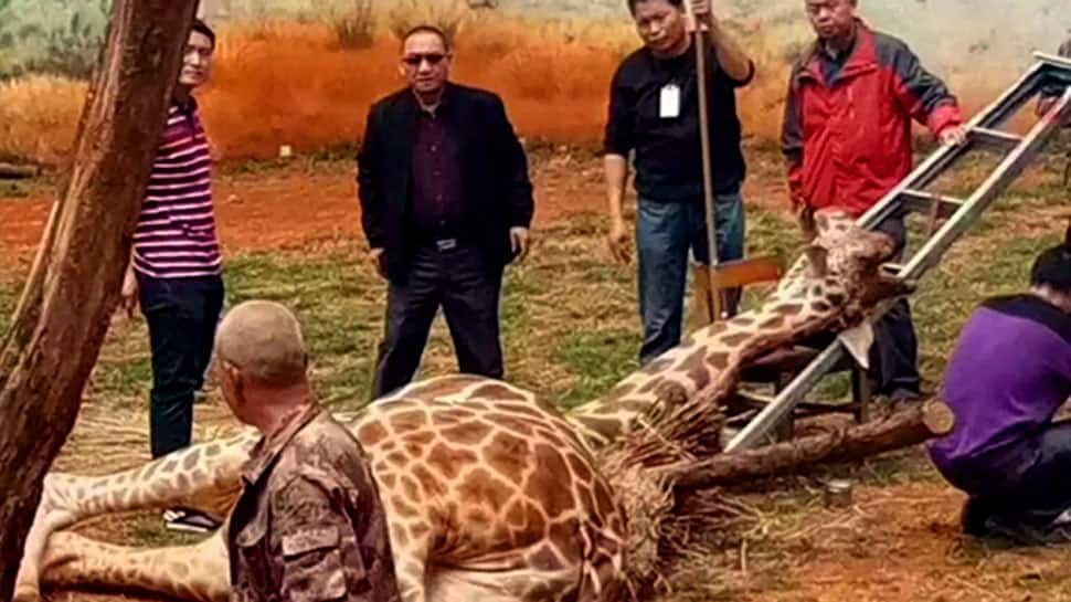Giraffe dies after getting his neck stuck in a tree at China's Kunming Zoo
