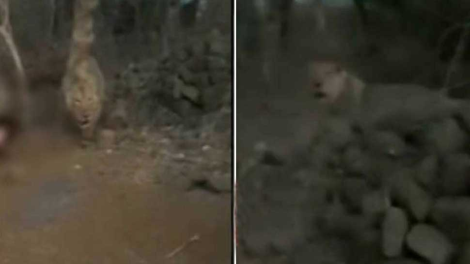 Angry lions walk away from prey as group of men shout and whistle in Gir National park - Watch