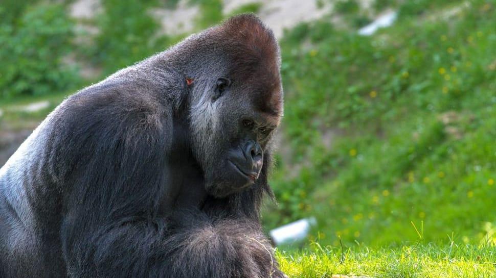 Gorilla Koko who mastered sign language dies